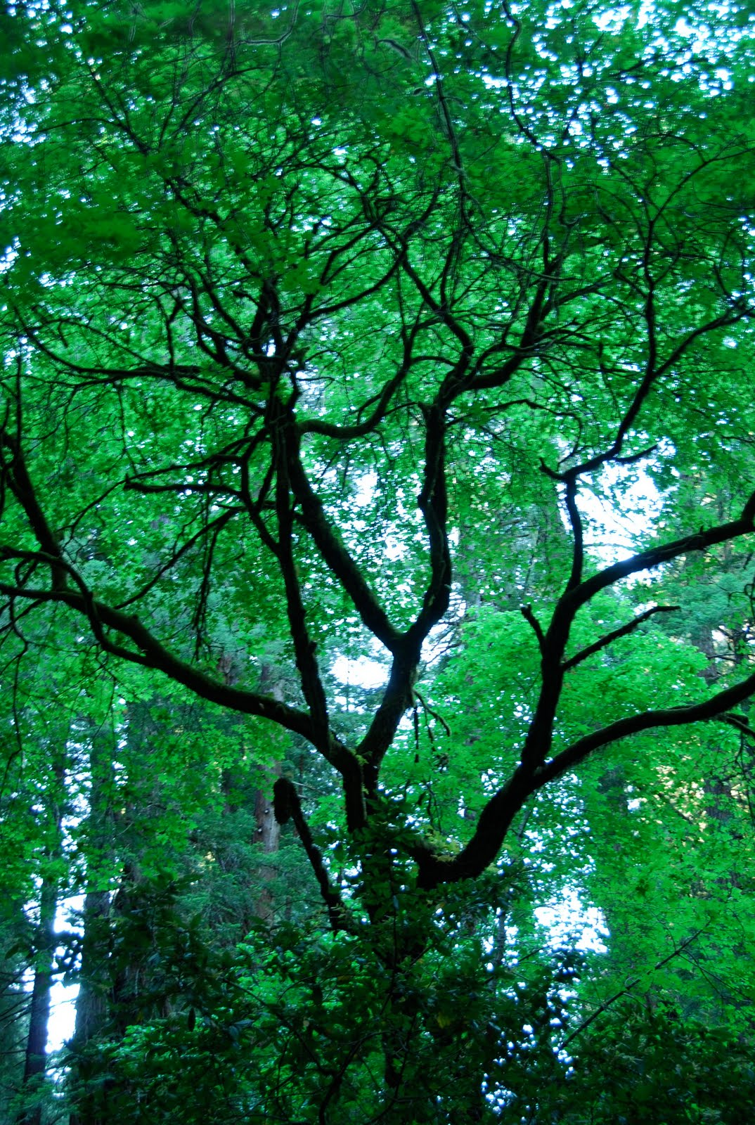 Blue Eyed Yonder Muir Woods Oh How I Love Thee Vintage